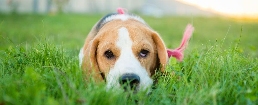 beagle pup gras