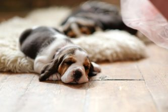 beagle puppy slaapt
