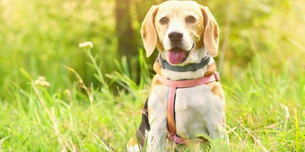 schattige beagle